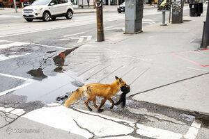 پرسه روباه در خیابان
