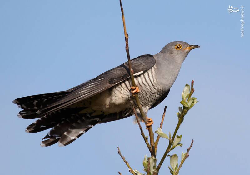 فاخته پرندهای مشهور به انگل+ عکس
