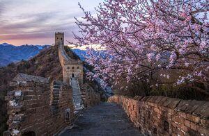 عکس/ شکوفههای بهاری در دیوار چین