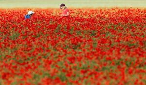 عکس/ گلهای شقایق در کشورهای اروپایی