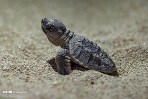 آب خوردن لاکپشت از دست محیطبان+ فیلم