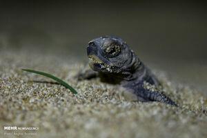 عکس/ آغاز سفر بچه لاکپشتهای پوزه عقابی
