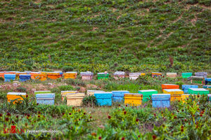عکس/ پرورش زنبورهای عسل در طبیعت بجنورد
