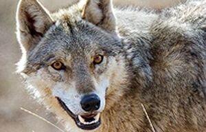حمله گرگ به پدر و پسر خرمدرهای