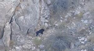 فیلم/ خرس سیاه آسیایی(بلوچی) در ارتفاعات رودان