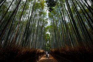 عکس/ قدم زدن در میان درختان بامبو