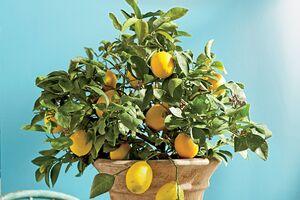 میوهای که به راحتی میتوان در گلدان کاشت