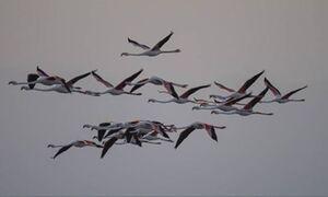 سواحل دریاچه ارومیه میزبان فلامینگوهای آفریقایی +فیلم