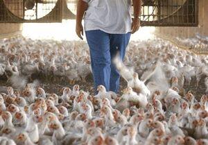 تولید مرغ ظرفیت افزایش ۴۰درصدی دارد/ وزن مرغ باکیفیت ۱.۲ کیلو هست نه ۲.۵ کیلو