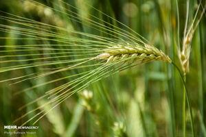 تصاویر چشمنواز از مزارع گندم مرکزی