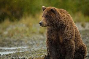 فیلم/ شکار تصویری جالب از خرس قهوهای سوادکوه