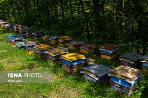 عکس/ دامنههای رودبار میزبان زنبورهای عسل