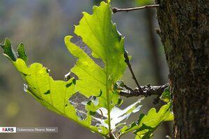 عکس/ آفت به جان جنگلهای چالوس
