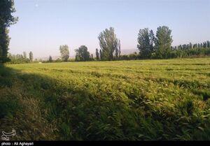 عکس/ گندمزارهای زیبای ارومیه