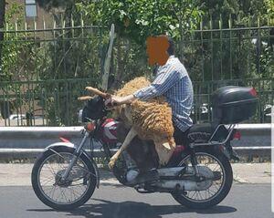 عکس/ حمل خطرناک گوسفند با موتورسیکلت