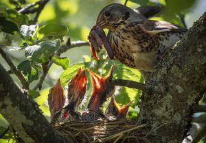 غذا خوردن روی درخت سیب