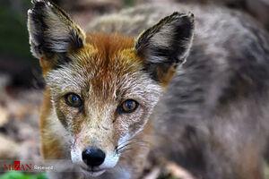 عکس/ روباه سرخ