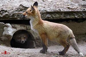روباهی که روزانه سهمیه تخممرغش را از مغازهدار میگیرد +فیلم