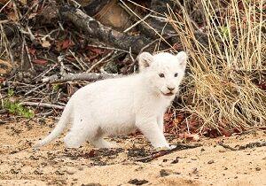توله شیر سفید باغ وحش هویزه تلف شد