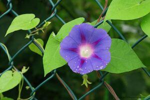 چگونه یک گل نیلوفر پیچ را نگهداری و پرورش دهیم؟