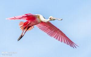 عکس/ پرنده زیبای صورتی رنگ