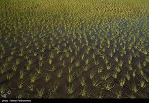 عکس/ برنجکاری در دشت سوسن