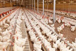 قیمت مرغ ۱۵ هزارتومان مصوب شد