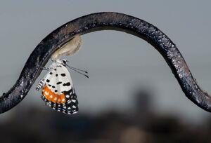 عکس/ حیات پروانهها زیر سایه کرونا