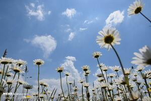عکس/ عطر گلهای بابونه در جنگل فندقلو