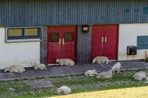 عکس/ گوسفندان به دنبال سایه