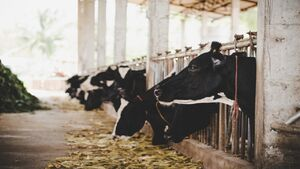 قیمت واقعی گوشت قرمز چقدر است؟/صادرات دام مرهمی برای دامداران