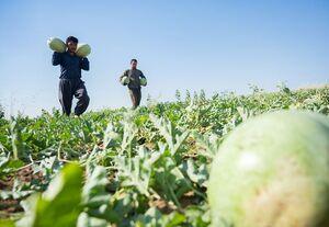 عکس/ فصل برداشت هندوانه در اربیل عراق