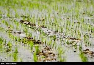 """عکس/ کاشت غرقآبی """"برنج"""" در فارس"""