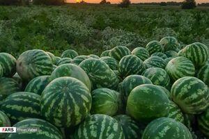 """عکس/ روزهای برداشت """"هندوانه"""""""