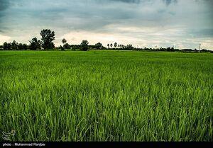 عکس/ عطر برنج در شالیزار های گیلان