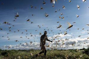 عکس/ حمله بیسابقه ملخها به نقاط مختلف جهان