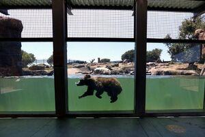 شنای خرس