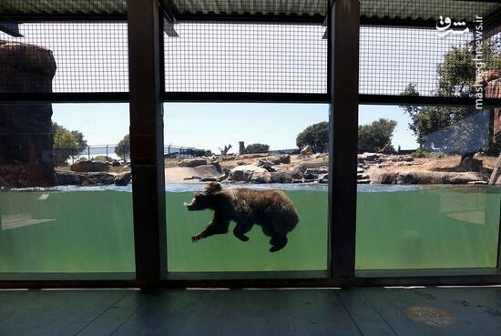 عکس/ شنای خرس