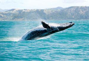 نجات نهنگ در معرض خطر انقراض از خطر مرگ
