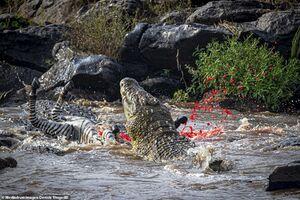 یک لقمه گورخر میان آرواره های تمساح!