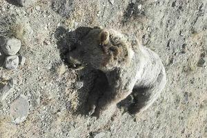 یک خرس قهوهای در یکی از توابع مشگین شهر زجرکش شد