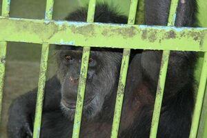 سلولهای انفرادی برای ۸ شامپانزه در ارم +عکس