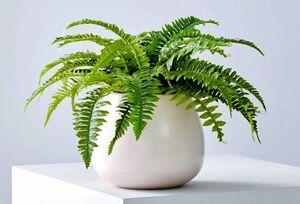 روش نگهداری و پرورش گیاه سرخس