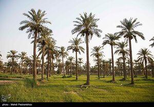 عکس/ نخلستانهای زیبای جنوب در معرض نابودی