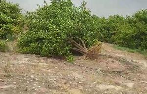 فیلم/ کنده شدن درختان بر اثر طوفان در سیمکان