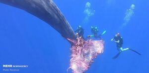 نجات نهنگ عنبر از تور ماهیگیری