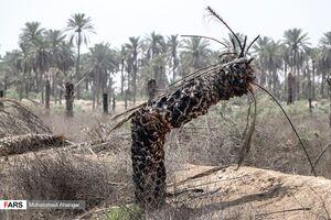 عکس/ قبرستان نخلها