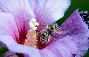 عکس/ جمع آوری گرده توسط زنبور عسل