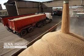 گندم وارداتی با ارز ۴۲۰۰ تومانی خوراک دامها شد