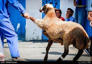 ذبح گوسفند عید قربان